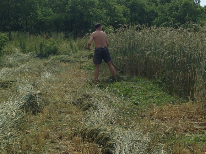 Nice job knocking down the rye cover crop. Thanks Gabor!